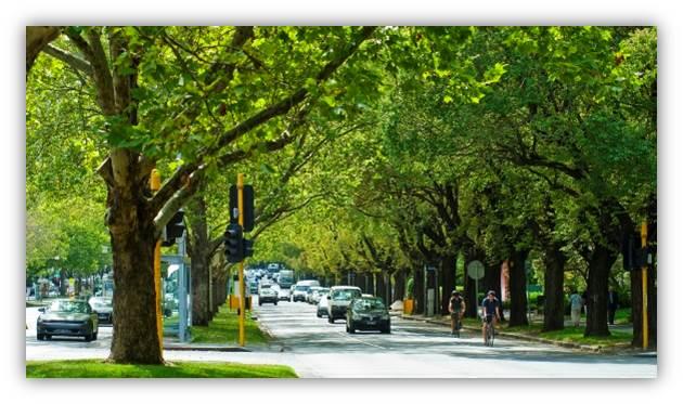 St Kilda Elm trees